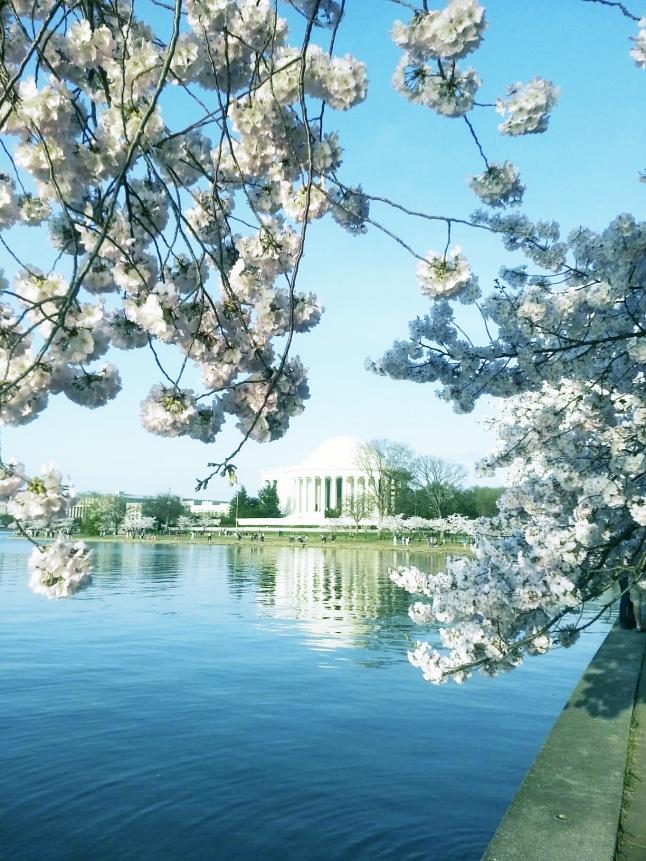 2014 Cherry Blossom (1)