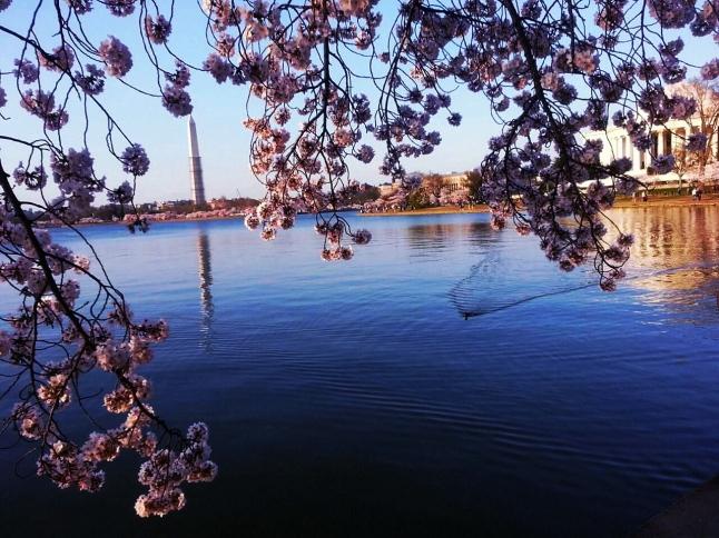 2014 Cherry Blossom (2)
